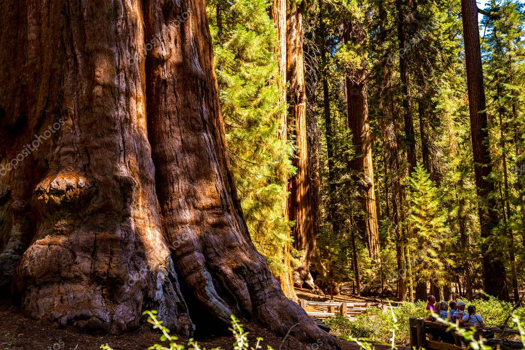 Huge sequoia tree in the Sequoia National park