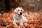 golden retriever posing in leaves outdoors at daytime