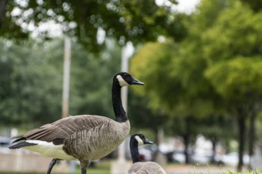 Canada Goose walking through trees in city