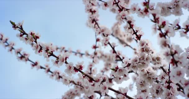 Pink tavaszi virág virágokat a cseresznyefa. Lövés a 6k piros kamera lassítva.