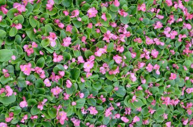 Cover photo of pink begonia flowers floral pattern