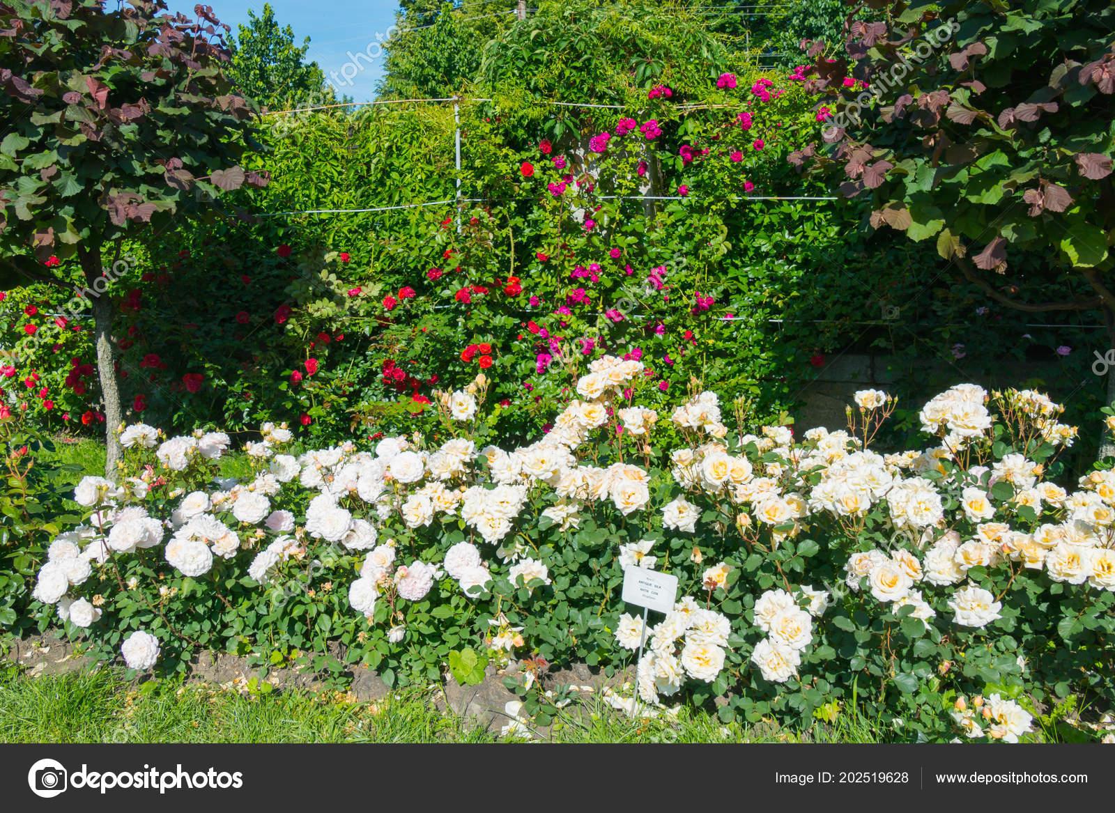Un montón de rosas de rojo, blancos y rosa en el jardín de ...