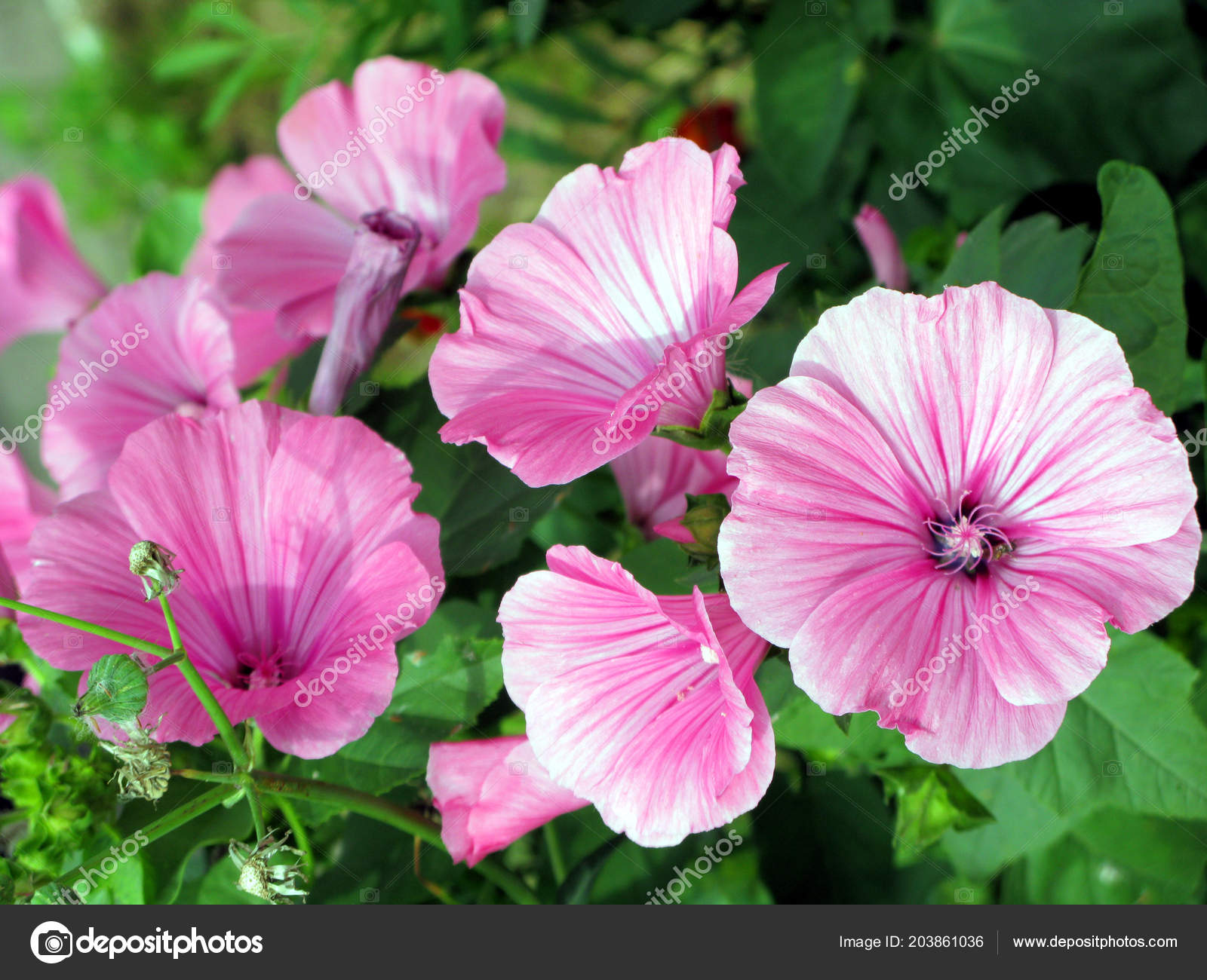 Delicate Striped White Pink Flowers In Focus On The Background Of