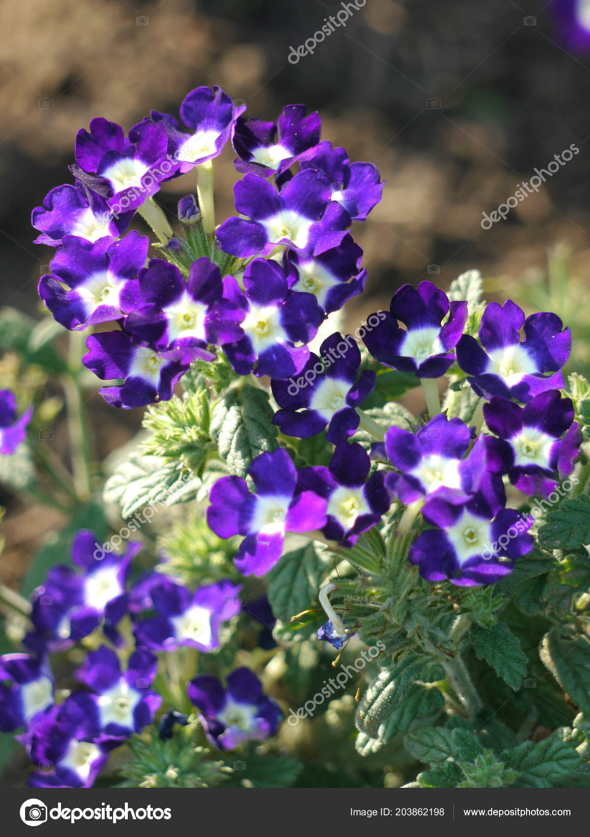 Small Blossoming Blue Flowers With A White Middle Stock Photo