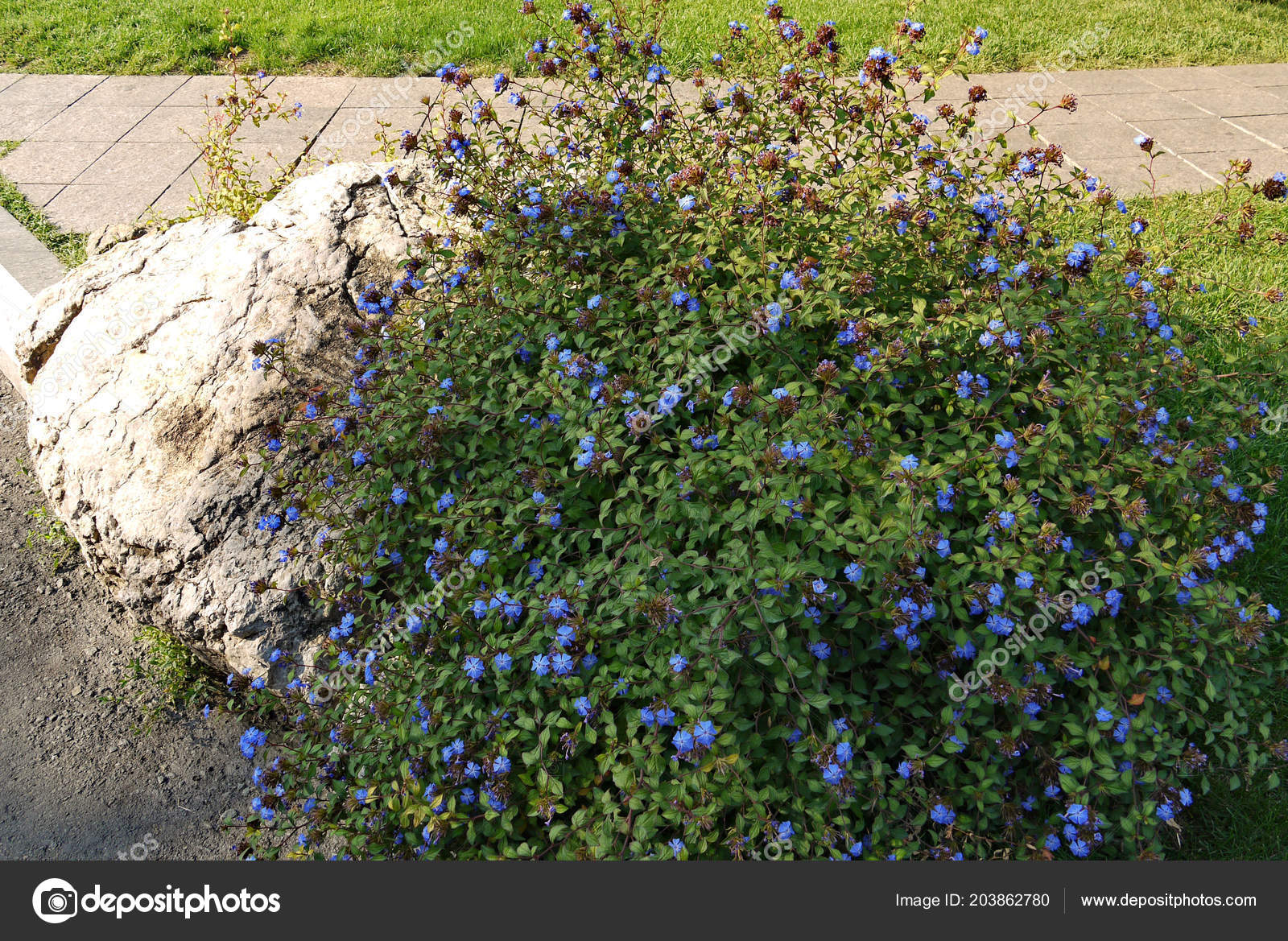 Shrub With Small Beautiful Blue Flowers And Green Leaves In The Rays