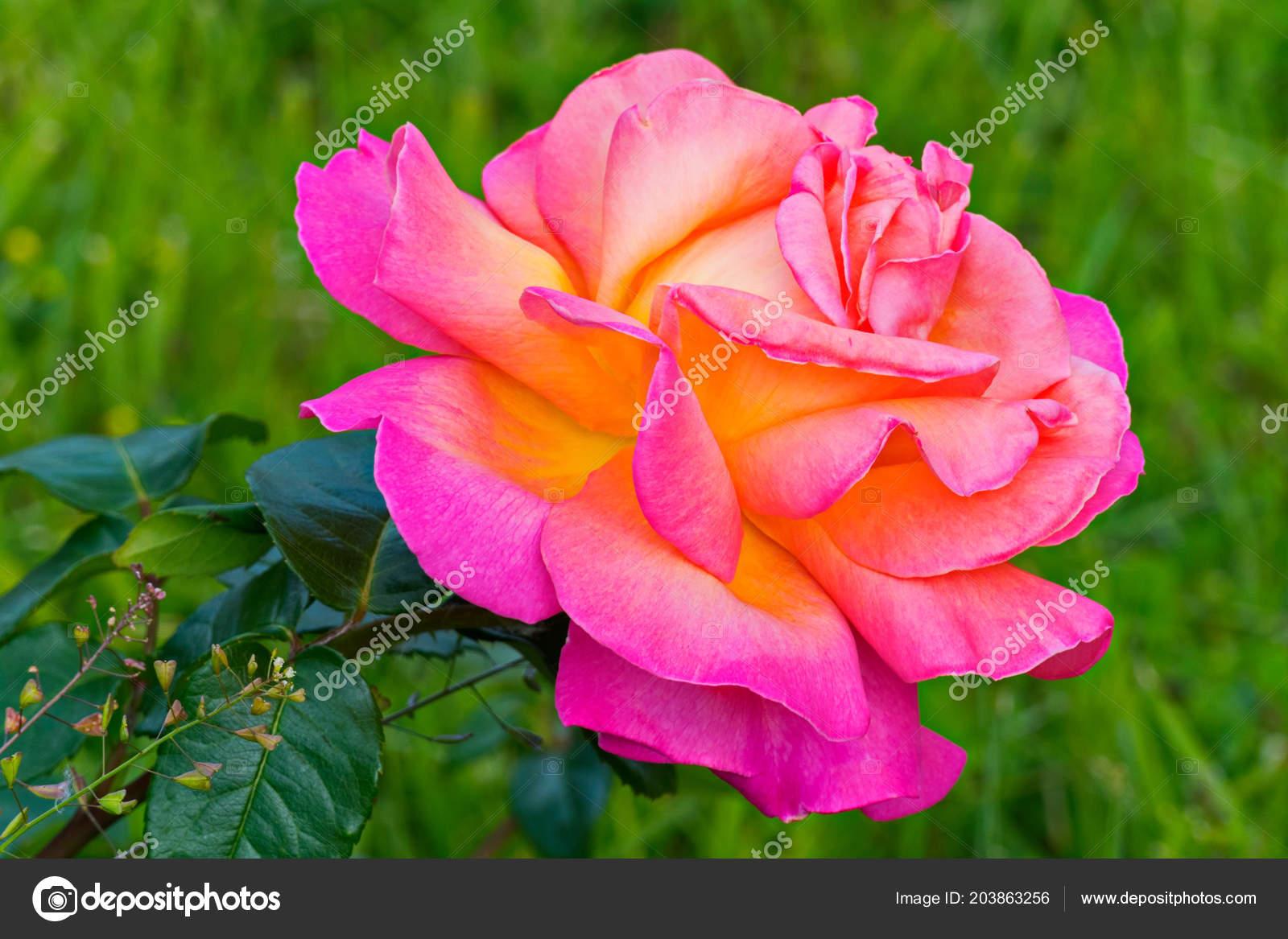 El Lujoso Pétalos De Una Rosa Hermosa Son Como Si Iluminado Desde