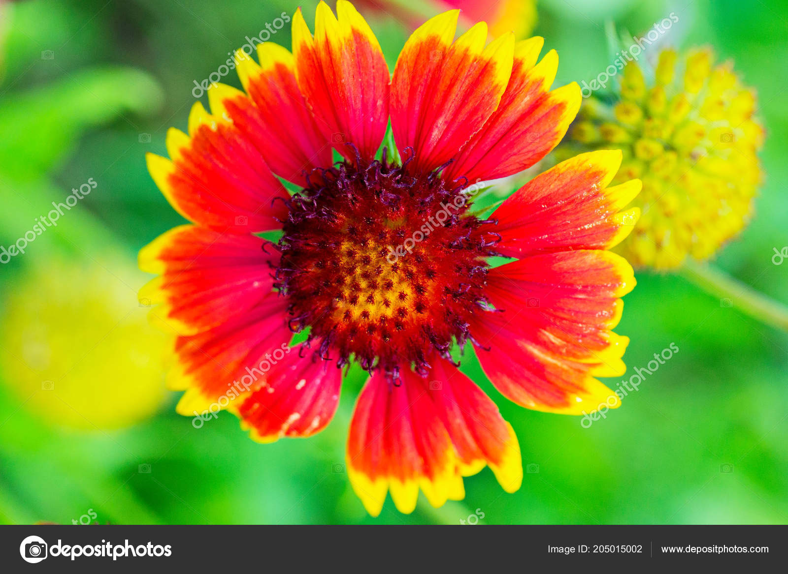 Beautiful Flower With Red Petals And Yellow Tips Photographed Close