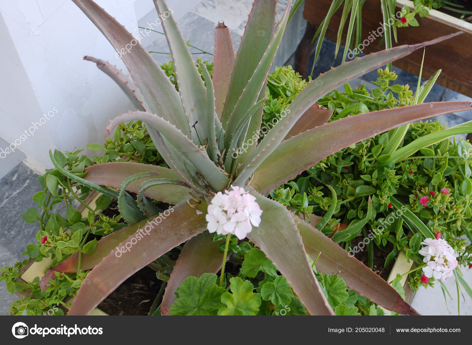 A Spiny Large Aloe Flower Is Surrounded By Small White And Pink