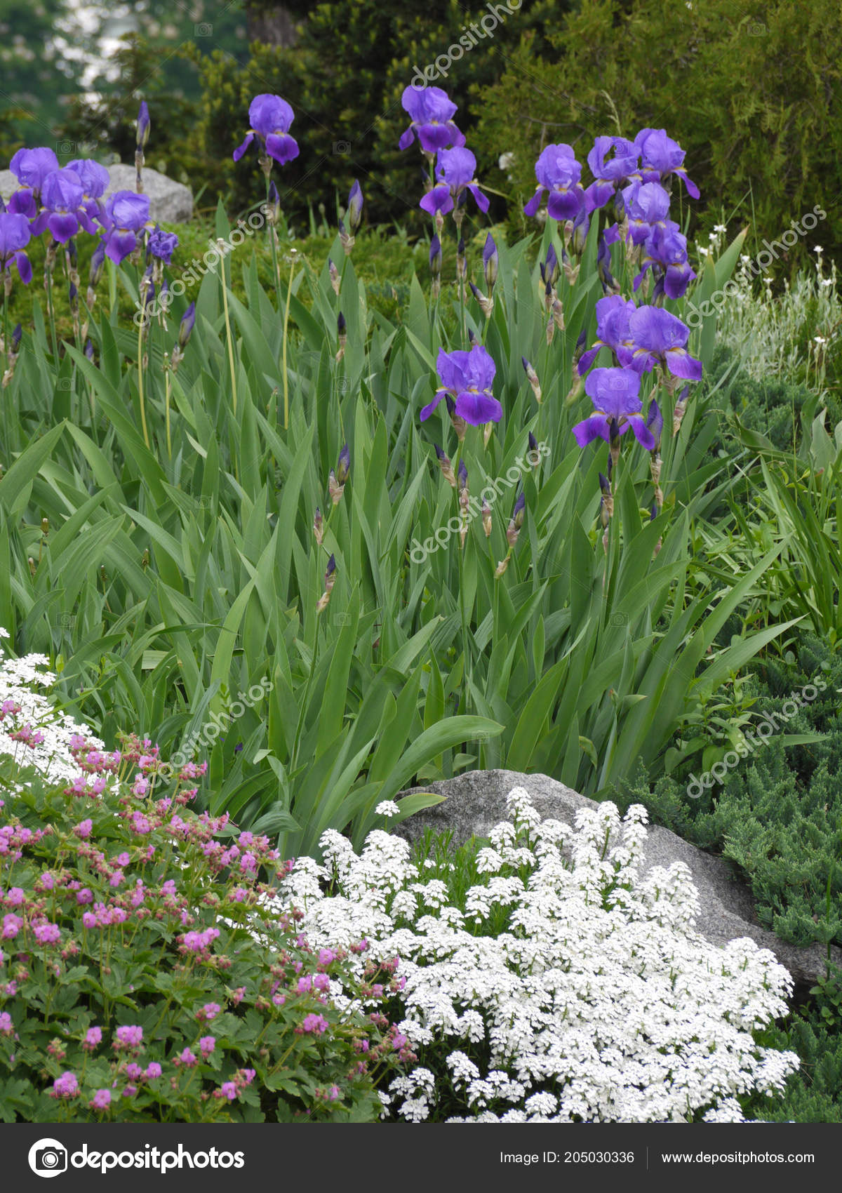 Beautiful violet, white and pink flowers in the flowerbed. Very ...