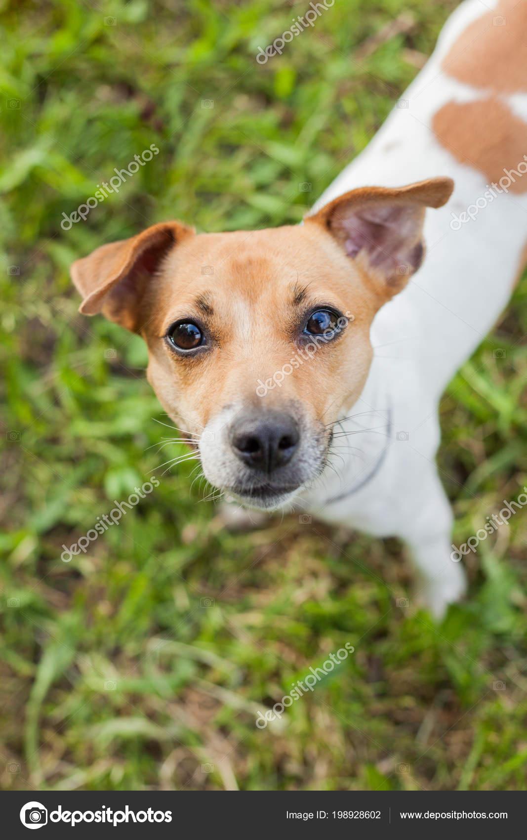 Steht Hunderasse Einem Russell Terrier Jack Kragen 6bfgY7y
