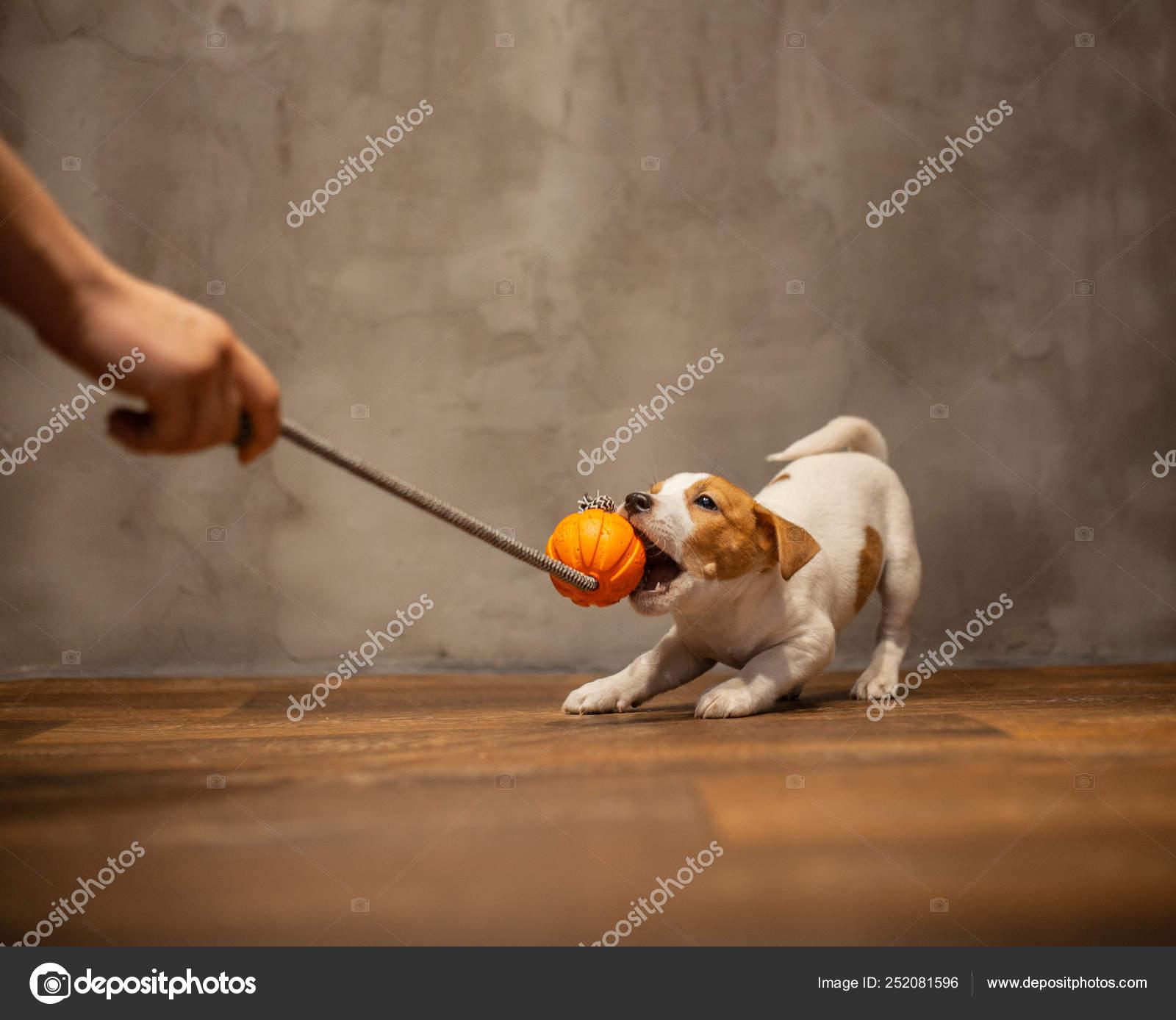 Jack Russell Terrier Puppy Pulls Teeth Orange Toy Held Human