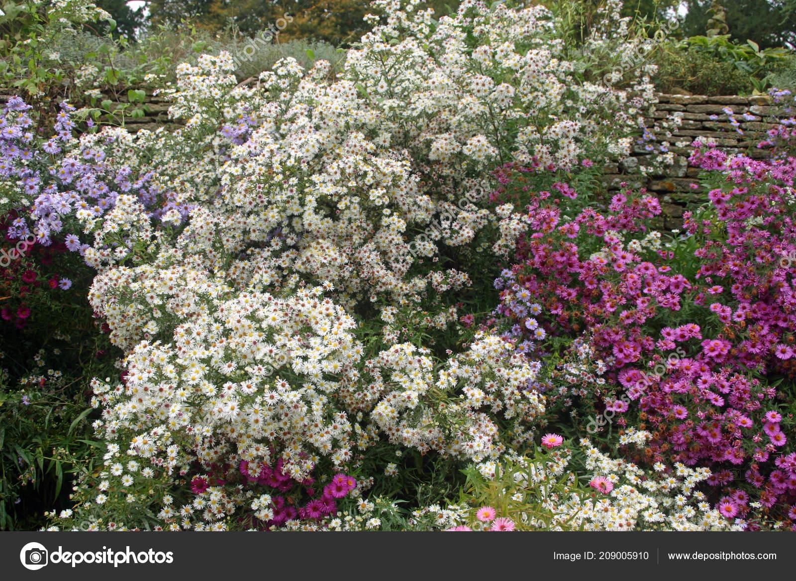 Fleurs Aster Mixtes Couleur Blanc Rose Lilas Violet Dans Lit