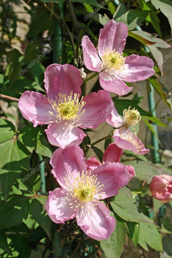 Four pink Clematis flowers in the bright summer sunshine. Flowers fully open and casting shadows. Background of Clematis leaves.