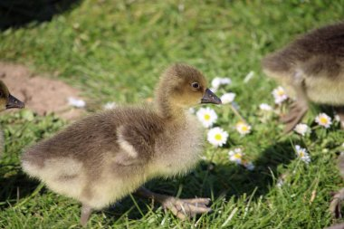 Two greylag goose (Anser anser) goslings on grass with daisies (Bellis perennis).