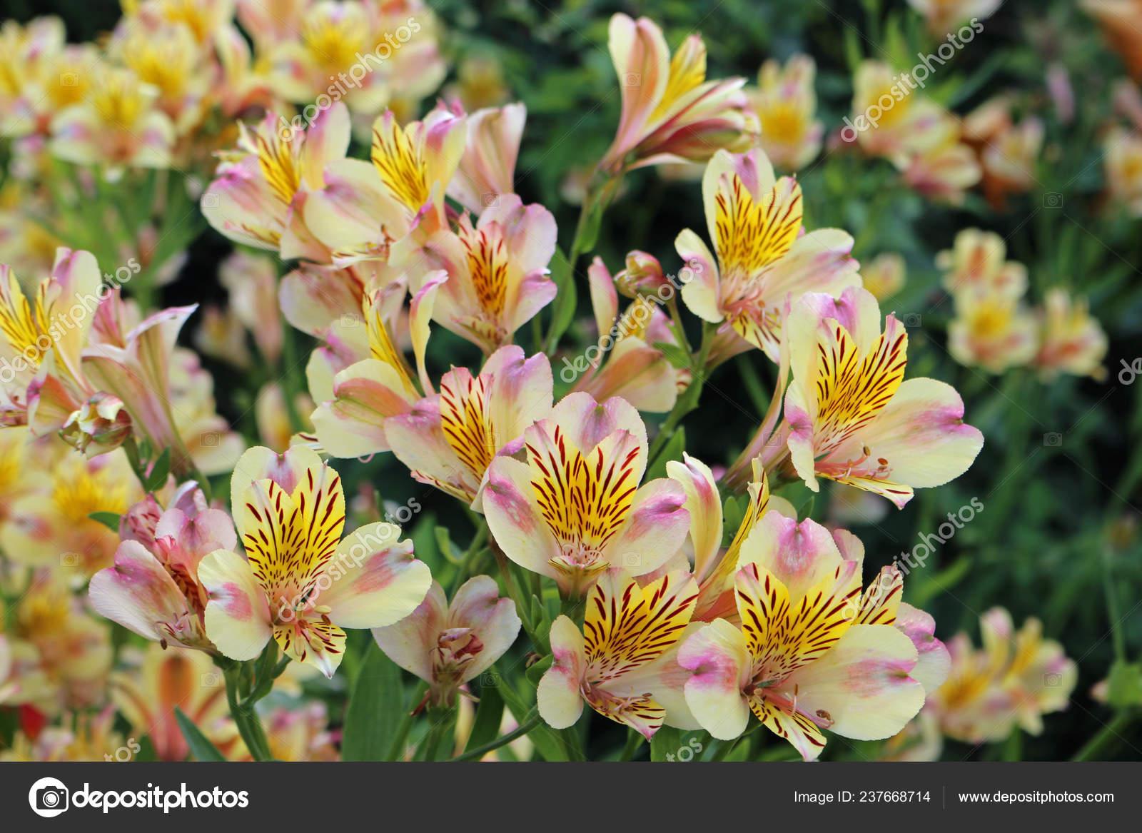 Pink Yellow Peruvian Lily Alstroemeria Flowers Flower Bed Leaves More Stock Photo C Johnatapw 237668714