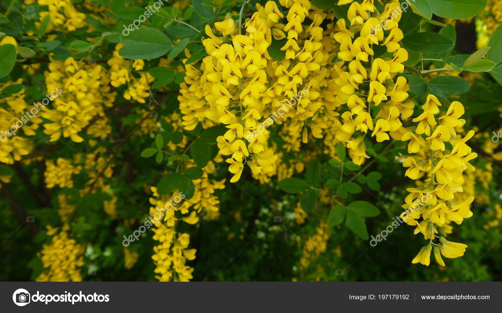 arbusto fiori gialli primavera