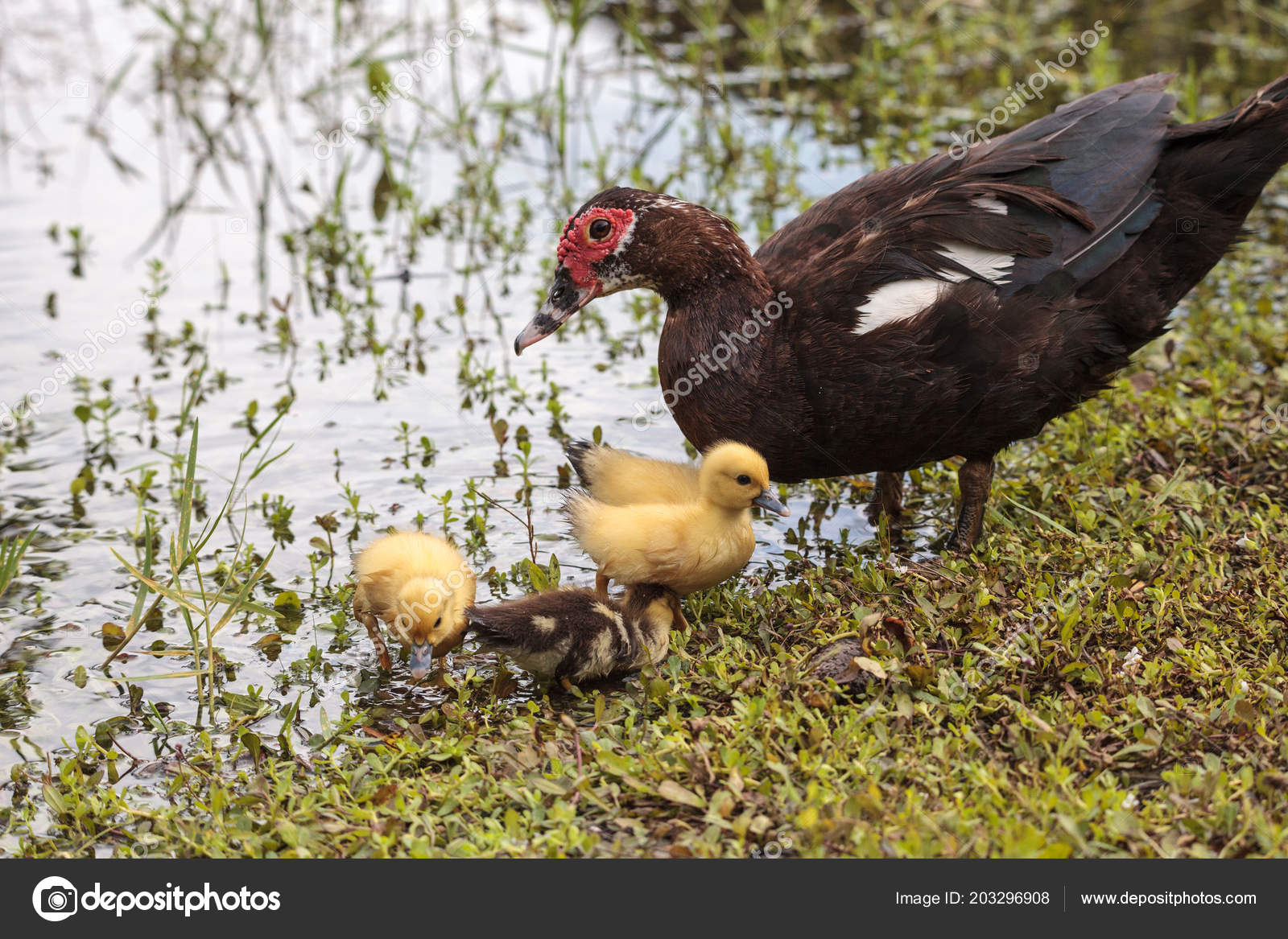 Mother Baby Muscovy Ducklings Cairina Moschata Flock