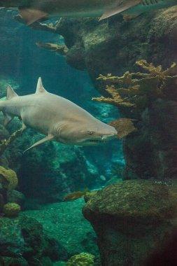 Blacktip shark Carcharhinus limbatus swims along a coral reef in the tropics.