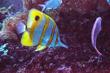Copperband butterfly fish Chelmon rostratus with its long nose picks at corals on a coral reef