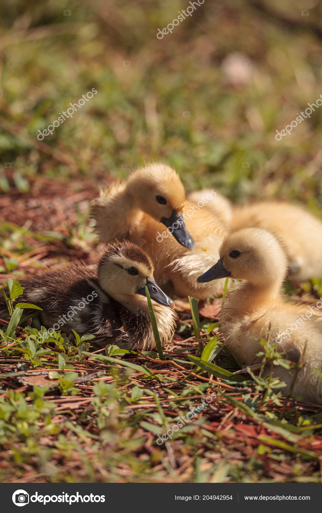 Baby Muscovy Ducklings Cairina Moschata Flock Together Pond