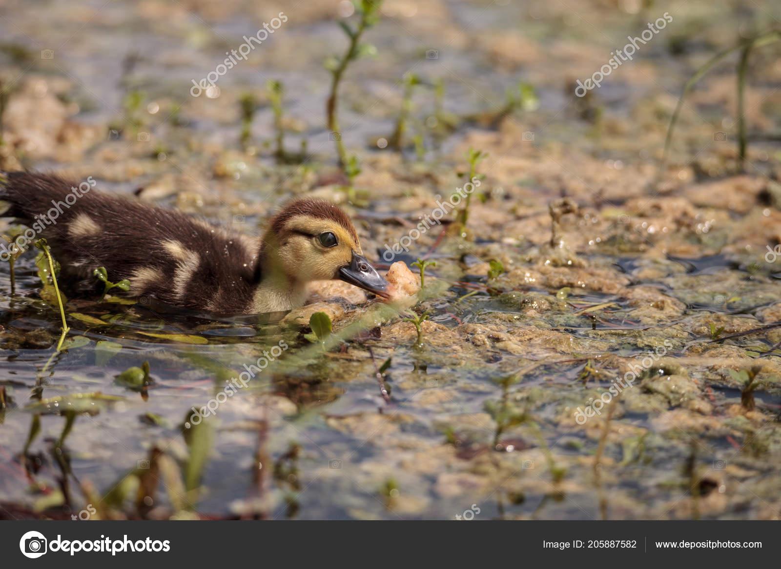 Little Brown Baby Muscovy Ducklings Cairina Moschata Flock