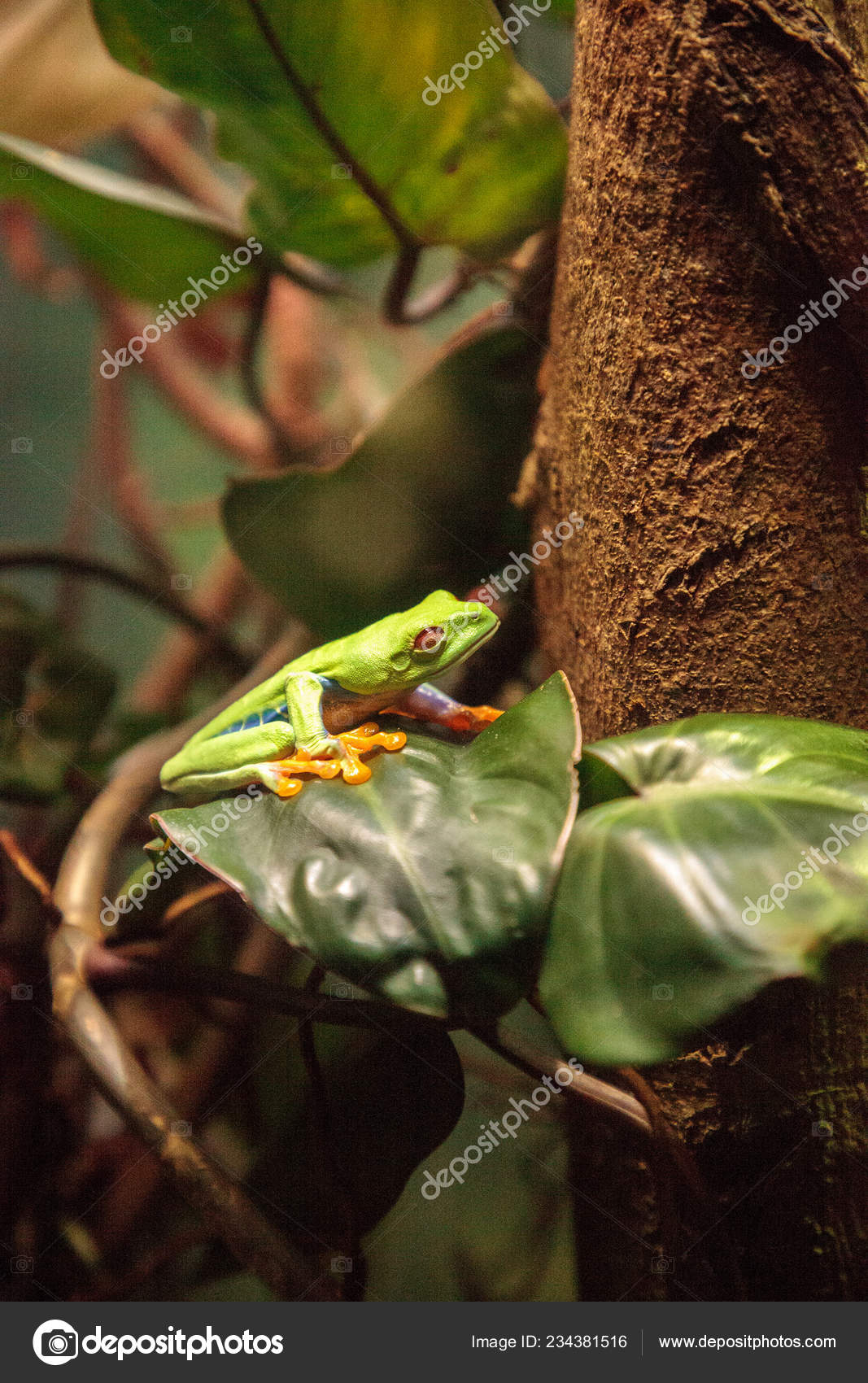Red Eyed Tree Frog Agalychnis Callidryas Rest Leaf Tropical Terrarium Stock Photo C Stephstarr9363 Gmail Com 234381516