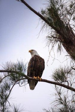 Perching Adult bald eagle Haliaeetus leucocephalus on a tree on Marco Island, Florida in the winter.