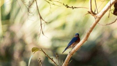 """Картина, постер, плакат, фотообои """"Восточная синяя птица Сиалия сиалис на пальме"""", артикул 260284732"""