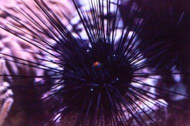 Long-spined black sea urchins Diadema setosum extends an orange