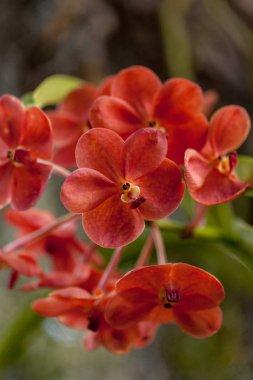 Ascda fuchs Sunkist orange Vuylstekeara Orchid grows on a tree in a tropical garden. stock vector
