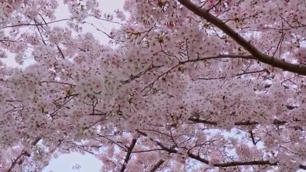Uzavření sakury (třešňový květ) v Japonsku