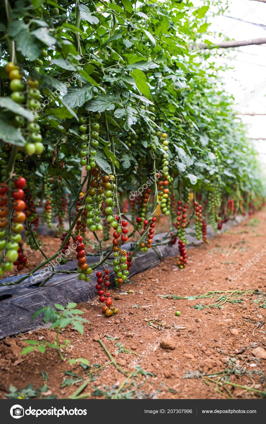 Planter Des Tomates En Pot growing cherry tomatoes pots put steel rack green house