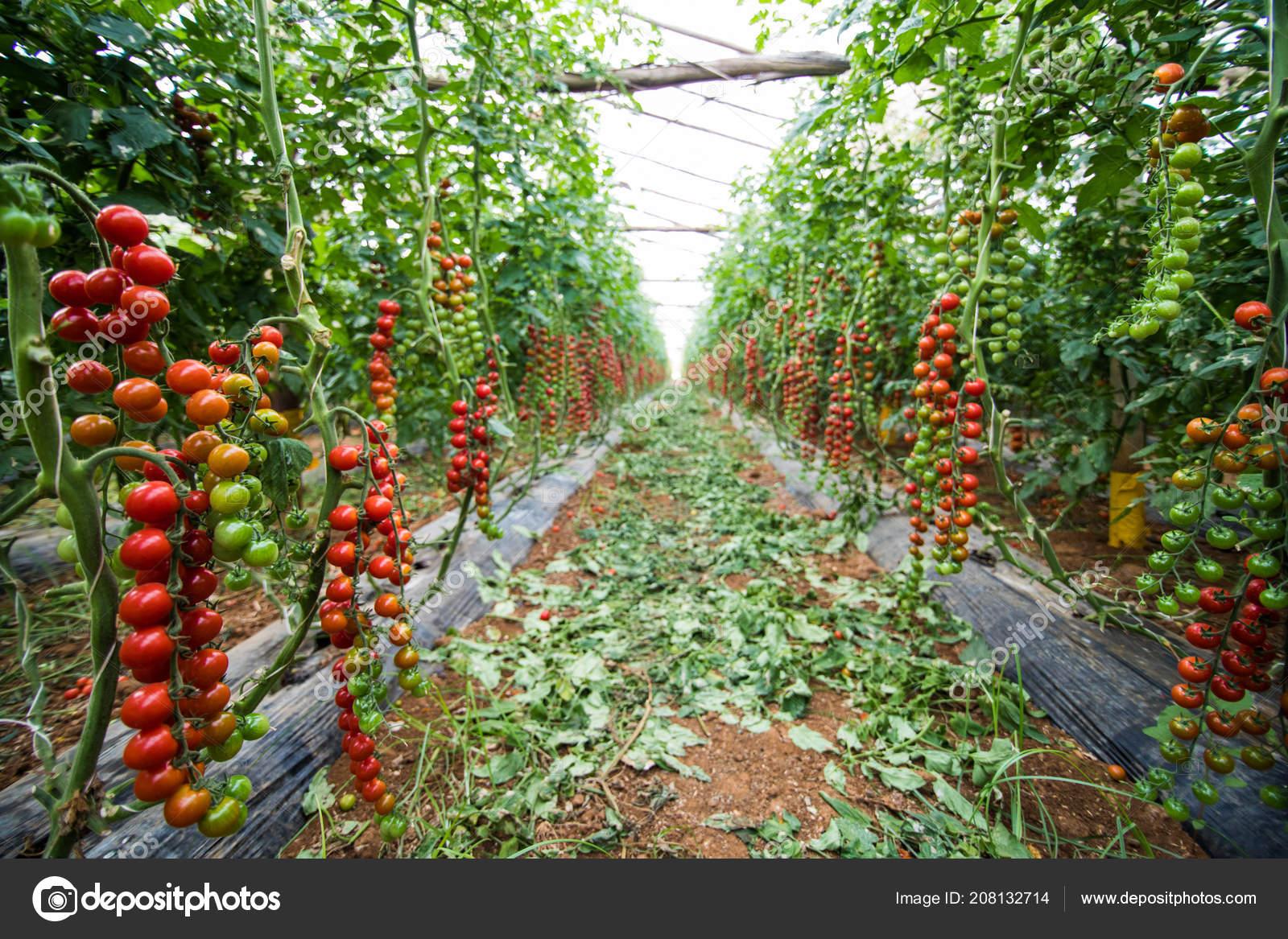 Planter Des Tomates En Pot red cherry tomato growing cherry tomatoes pots green house