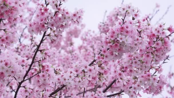 Třešňové květy vlaje ve větru, Tokyo, Japonsko