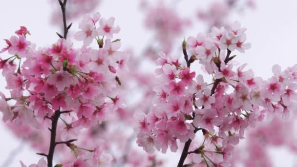 Cherry blossoms fluttering in the wind, Tokyo, Japan
