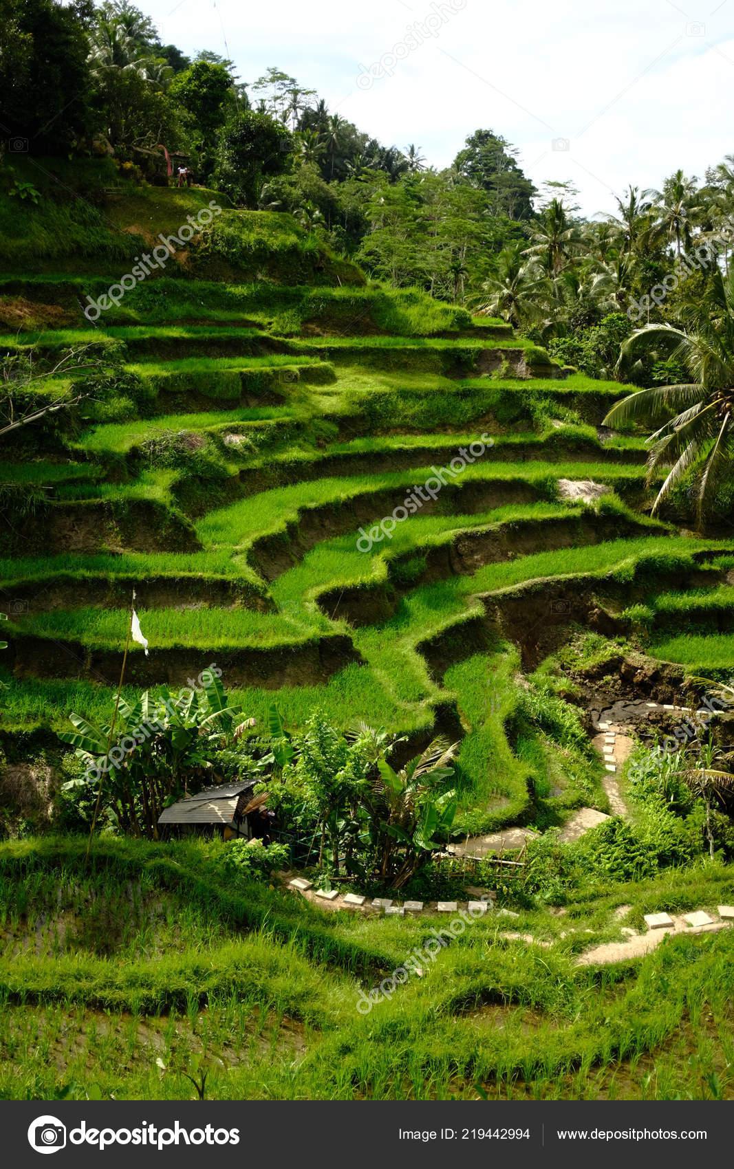 Vista Del Terrazzo Del Riso Di Tegalalang In Ubud Bali