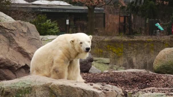 Cute polar bear sitting on a rock. Polar bear sniffing.