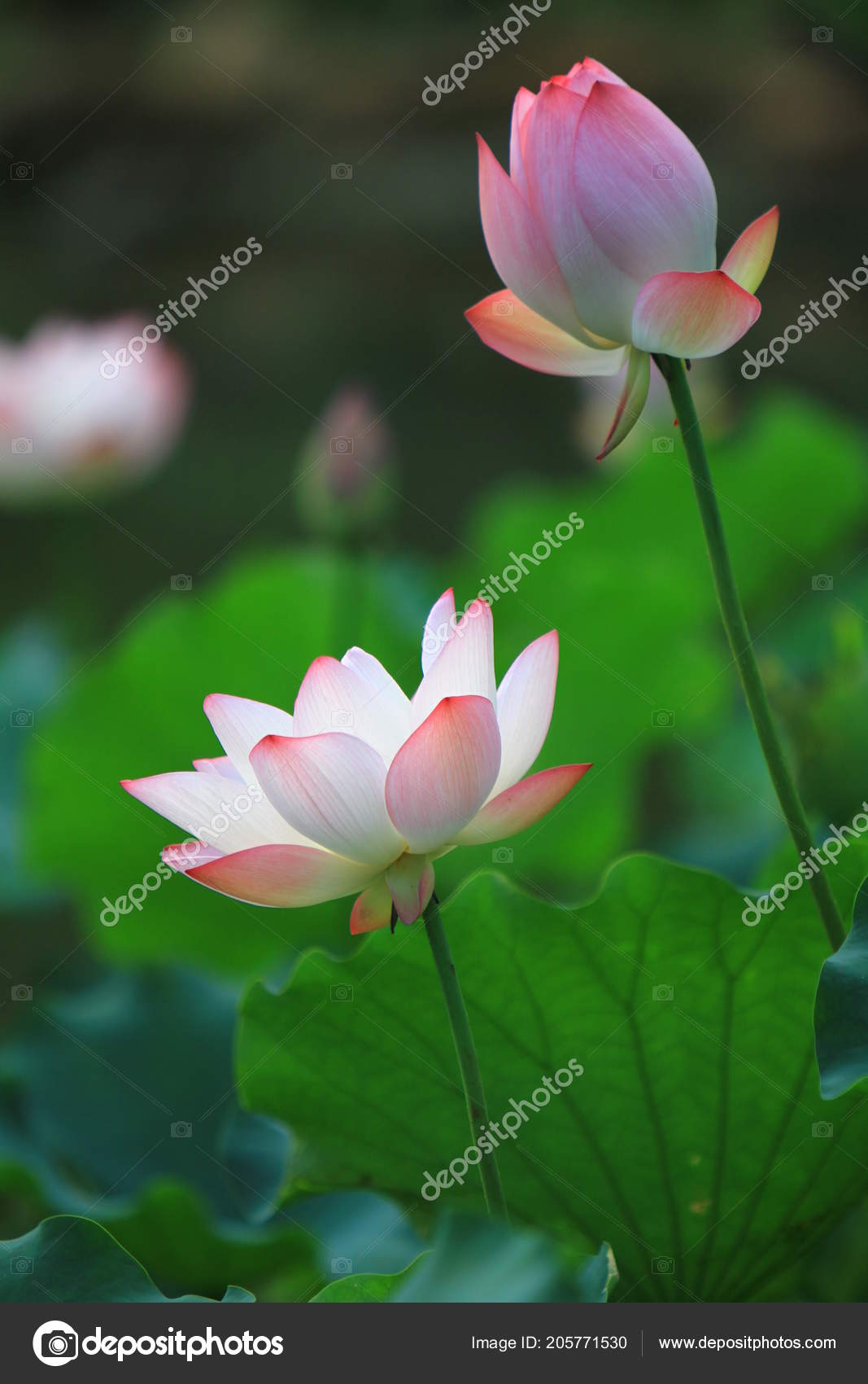 Pink lotus flower blooming sunlight stock photo sameashkyahoo pink lotus flower blooming sunlight stock photo izmirmasajfo