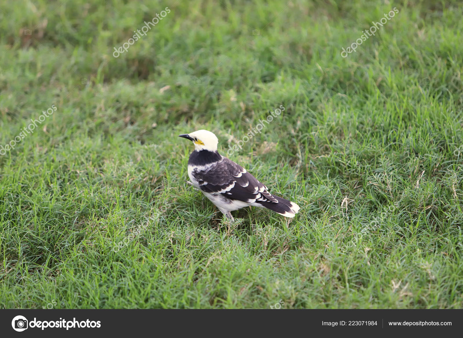 Obrázek velké černé ptáky