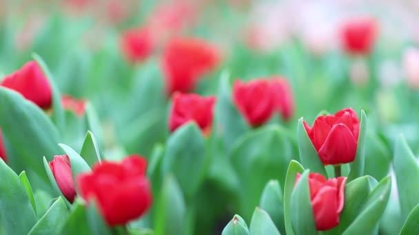 Szép tulipán virág tulipán mező