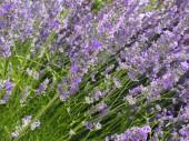 Fotografie Květy levandule close-up detail