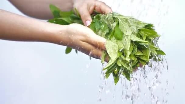 Zenske ruce s mátou rostlin