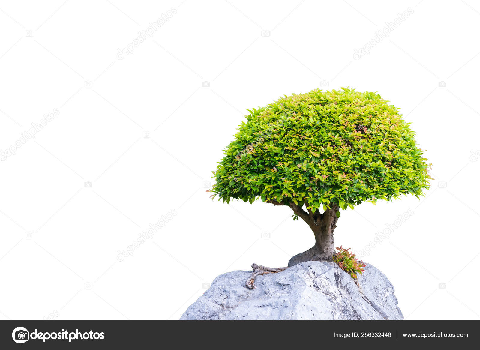 Bonsai Banyan Tree Growing On The White Rock Stock Photo By C Phichaklim1 Gmail Com 256332446