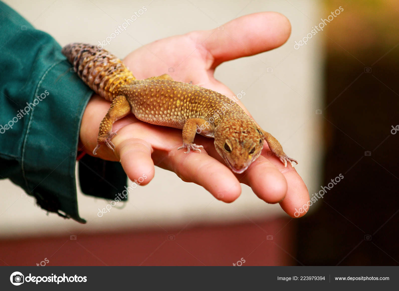 Guy Gecko Man Holds Hands Reptile Gecko Common Leopard Reptile