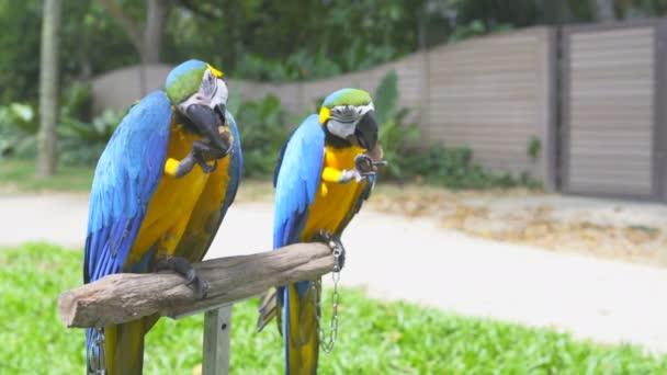 Ara papoušci sedí na stojan a jíst ořechy