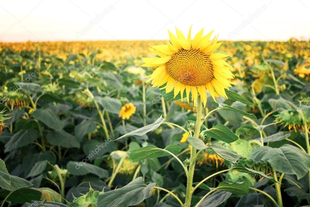 Standing out from the crowd on sunflower above all the rest.