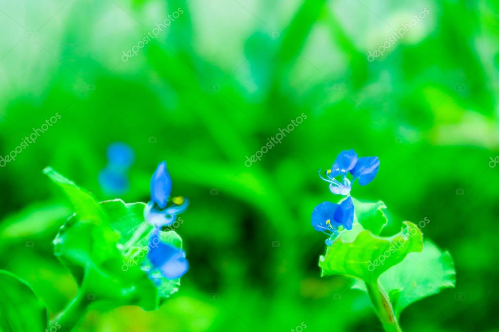 Benghal dayflower, tropical spiderwort, wandering Jew benefits make you an appetite suppressant, use as a laxative, help solve leprosy. Relieve skin irritation