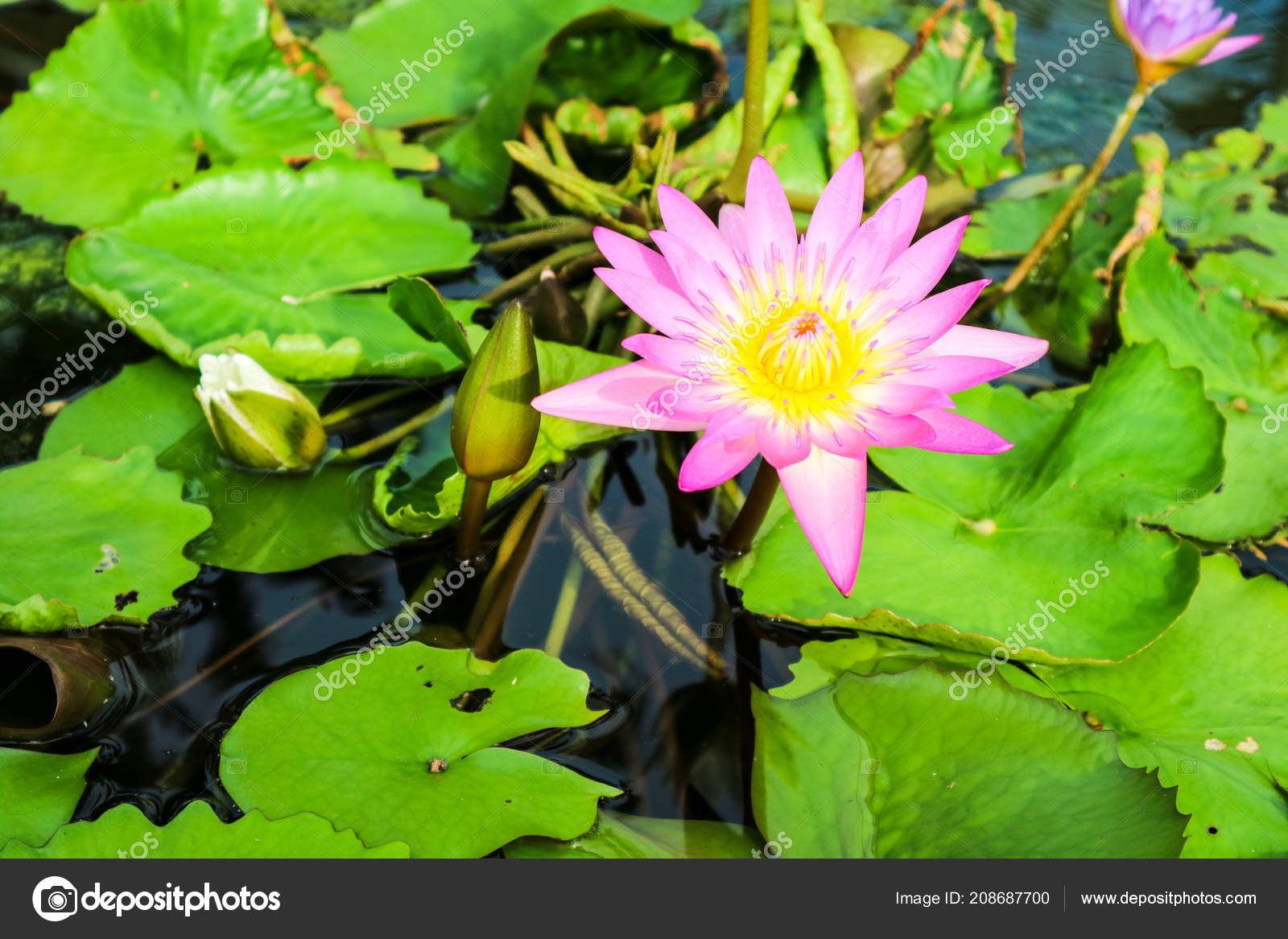 Pink white lotus flower blooming water surface swamp background pink white lotus flower blooming water surface swamp background stock photo izmirmasajfo