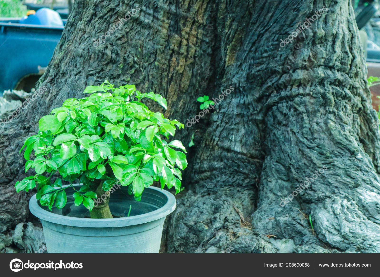 Boom In Pot Tuin.Jonge Boom Bloem Pot Terug Oude Boom Achtergrond Tuin Stockfoto