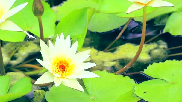 lotus has white color of petals blooming in pond